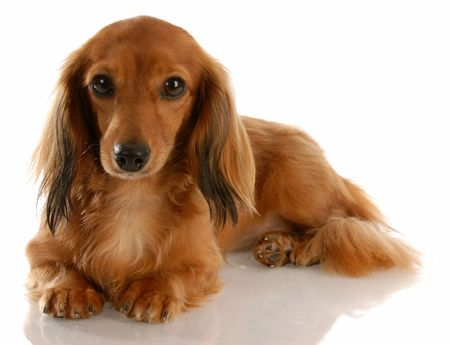 long haired miniature dachshund laying down on white background Stock Photo
