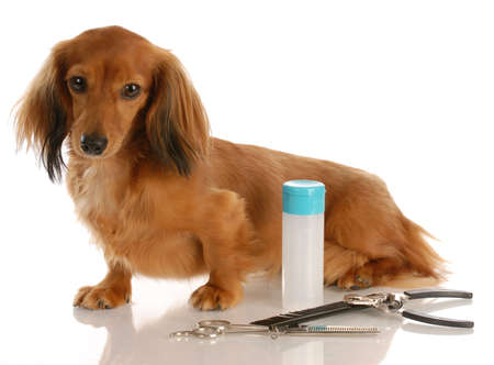 dog grooming - miniature long haired dachshund sitting beside grooming supplies Stock Photo - 5671024