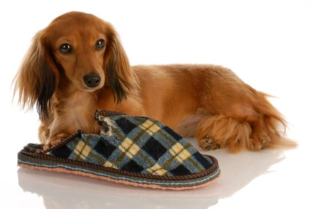 long haired miniature dachshund laying down beside chewed slipper Stock Photo