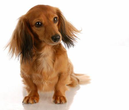 miniature breed: dachshund miniatura de pelo largo sentado en el fondo blanco
