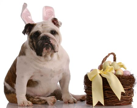 english bulldog sitting beside easter basket full of eggs photo