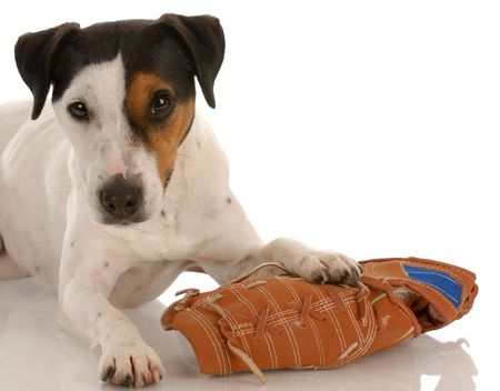 dodgers: playful dog - jack russel terrier laying beside baseball glove Stock Photo