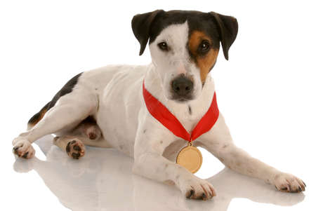 award winning: jack russel terrier with award winning medal around neck Stock Photo