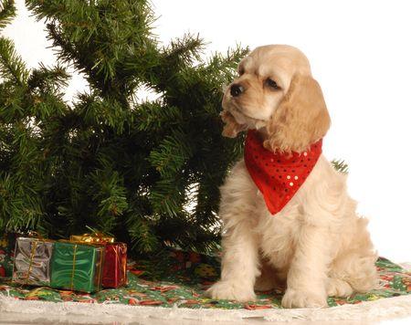 american cocker spaniel puppy sitting beside christmas tree photo