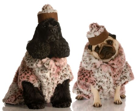 best protection: best friends - two dog girlfriends dressed up in fashionable clothing