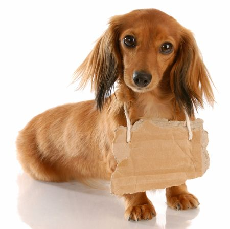 miniature dog: long haired miniature dachshund wearing cardboard sign around neck