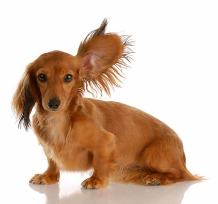 long haired miniature dachshund with one ear standing up listening Stock Photo - 5709187
