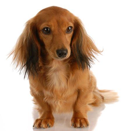 miniature breed: hembra de dachshund miniatura pelo largo sentado sobre fondo blanco