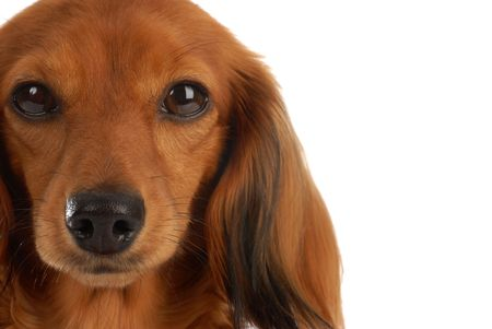 longhaired: head portrait of long haired dachshund on white background Stock Photo