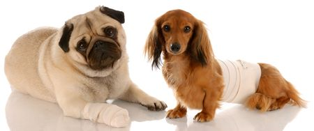 ugliness: animal health - pug and dachshund with wounds