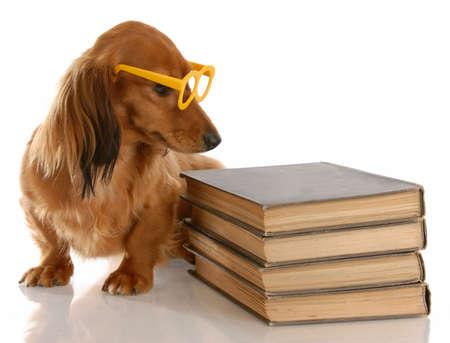 obedience: la obediencia del perro - Teckel miniatura sentado al lado de la pila de libros de Foto de archivo