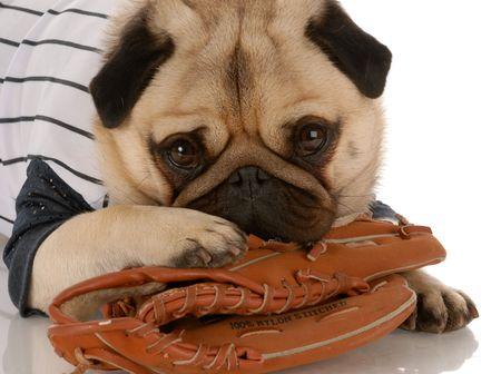 pug dog wearing baseball jersey with ball glove Stock Photo - 5740760