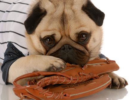 pug dog wearing baseball jersey with ball glove Stock Photo - 5740760