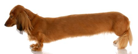 long nose: very long dachshund standing from the side view Stock Photo