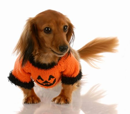 miniature long haired dachshund dressed up for halloween photo