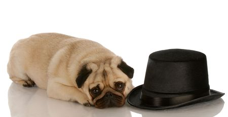 pug dog laying down beside formal black top hat photo