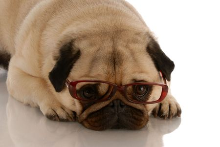 adorable pug dog with sad expression wearing brown glasses  photo