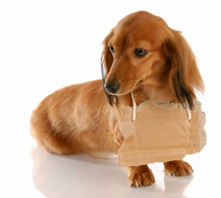 sad dog: miniature long haired dachshund wearing cardboard sign around neck