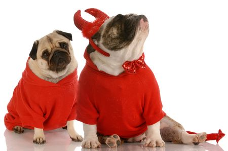 funny dog fight - bulldog dressed as devil ignoring pug photo