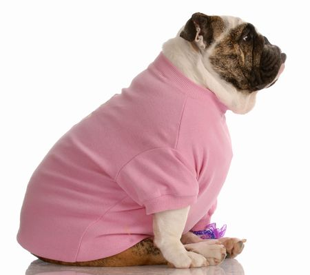 english bulldog dressed in pink girls clothing viewed from the side photo