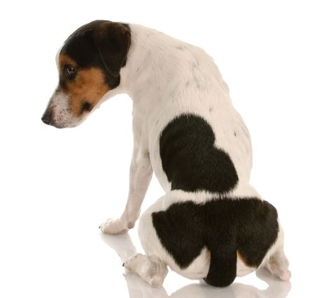 vinen: smooth coat tri-colored jack russel terrier with back to viewer and guilty expression Reklamní fotografie