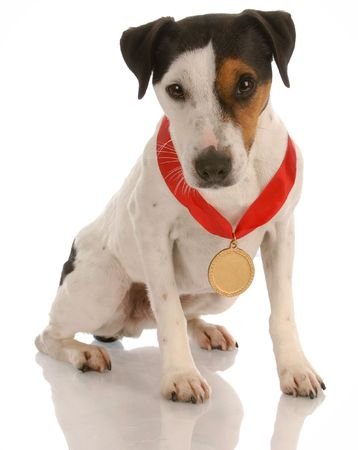 jack russel terrier dog sitting wearing prize winning medal Stock Photo