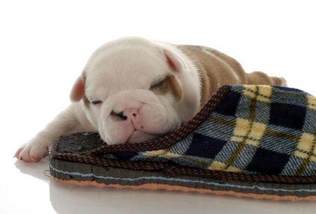 english bulldog puppy sleeping with slipper - three weeks old photo