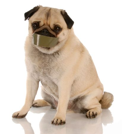 silenced: barking dog problems - pug with tape on mouth    Stock Photo