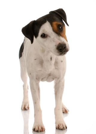 smooth coat tri-colored jack russel terrier standing photo