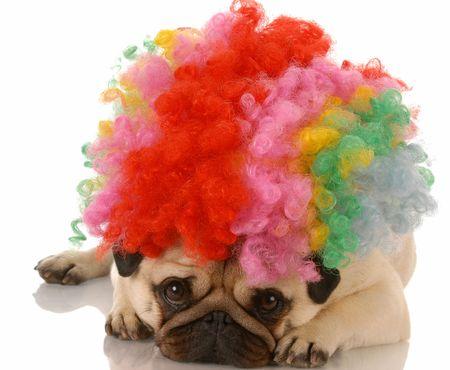 conformation: perro pug viste como un payaso triste