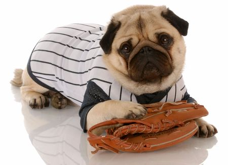 pug dog dressed up in baseball uniform with ball glove