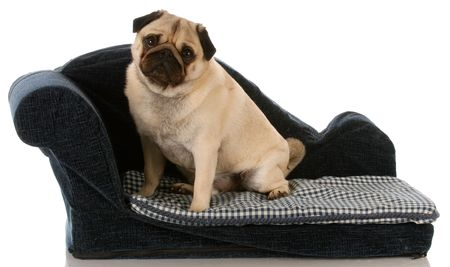 pug puppy: pug dog sitting on a blue dog couch Stock Photo