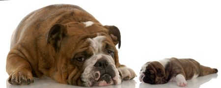 tired: mother and puppy - english bulldog mom and three week old puppy