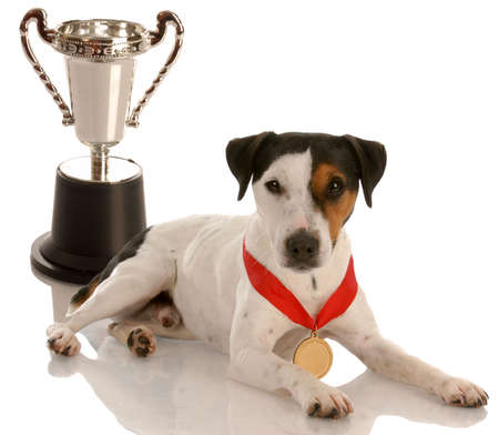 champion dog - jack russel terrier wearing gold medal sitting with trophy photo