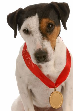 award winning:  jack russel terrier with award winning medal around neck