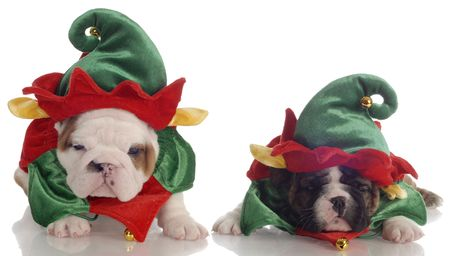 elves: two english bulldog puppies dressed up as santa elves Stock Photo