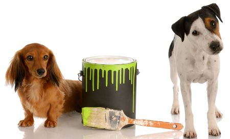 paints: bad dog - dachshund and jack russel terrier with paint can Stock Photo