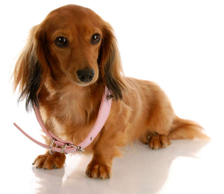 haired: puppy growth - miniature dachshund wearing a dog collar that is too big Stock Photo