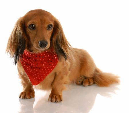 miniature breed: perro de largo pelo dachshund miniatura vistiendo bandanna rojo alrededor de cuello