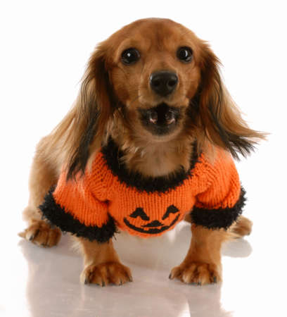 doxie: long haired miniature dachshund wearing pumpkin sweater with saucy attitude