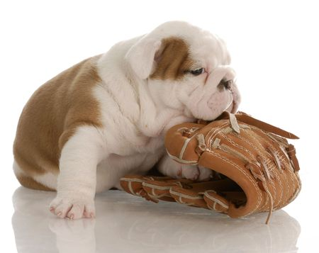 english bulldog puppy chewing on baseball glove - four weeks old Stock Photo - 5968457