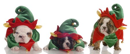 elves: santas helpers - three english bulldog puppies dressed up as elves Stock Photo