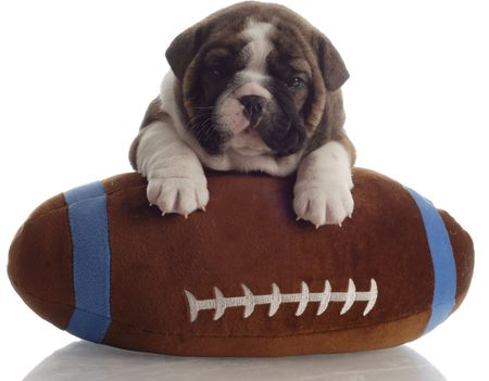 old english: english bulldog puppy with paws up on a stuffed football - 4 weeks old Stock Photo