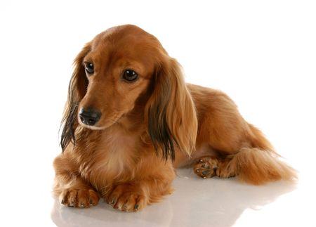 miniature breed: dachshund miniatura pelo largo que establecen con una reflexi�n sobre fondo blanco