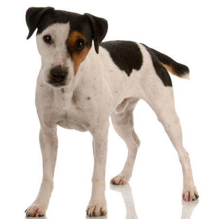 jack russell terrier puppy: smooth coat tri-colored jack russel terrier standing    Stock Photo