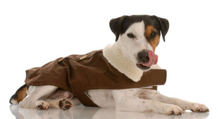 smooth: smooth coat tri-colored jack russel terrier wearing dog coat licking lips