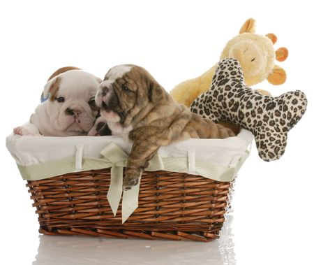 four week old english bulldog puppies in a wicker basket with stuffed toys    photo