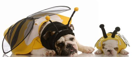 english bulldog mother and puppy dressed as bees  photo