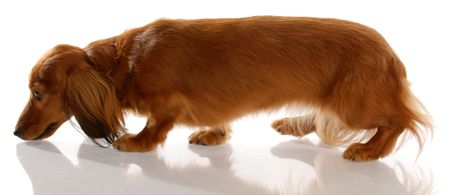 long: long haired miniature dachshund walking sniffing ground