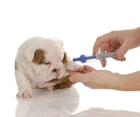 veterinary care - english bulldog puppy with toy needle photo